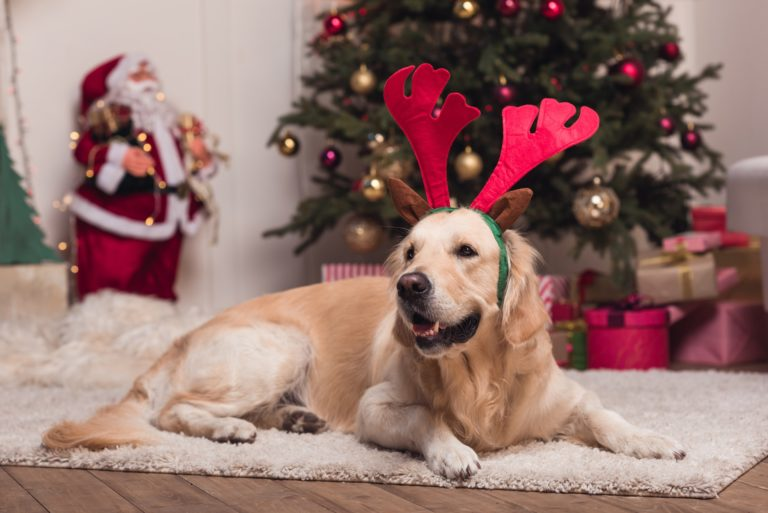 funny golden retriever dog in antlers lying on carpet